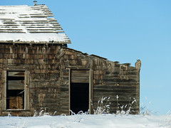 Winter on the prairies (annkelliott) Tags: alberta canada seofcalgary nature ornithology avian bird birds birdofprey owl greathornedowl bubovirginianus strigiformes strigidae bubo frontview perched barn wooden wood old weathered abandoned texture rural ruralscene snow outdoor winter 3january2017 fz1000 annkelliott anneelliott ©anneelliott2017 ©allrightsreserved