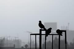 Amanecer palomero (laap mx) Tags: mexico mexicocity ciudaddemexico palomas doves pigeons contraluz backlight niebla fog mist ciudad city aves birds pajaros
