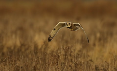 7M4A6337 (trawson58) Tags: owls fens hunting silent canon 500 f4 birds prey