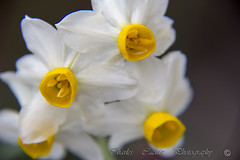 Narcissus (Pittur001) Tags: narcissus charlescachiaphotography charles cachia photography flowers white wonderfull yellow cannon 60d colours flicker award amazing valletta malta