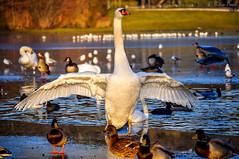 The Proud One (Nitin_Paul) Tags: nature birds bird pride swan tervuren timing photowalk brussels belgium