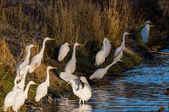 Great egrets (Saztul) Tags: bird nature vogel reiher wildlife herd natur silberreiher greategret