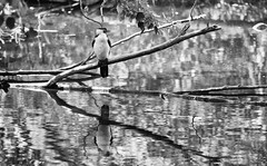 the waiting bird (Keith Midson) Tags: bird richmond tasmania perch branch river