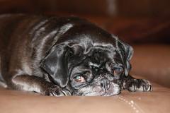 I can see you... (Yuri Dedulin) Tags: dog pug hailey anilmal pet black domestic canine portret cute dedulinyuri relax sleep watch home blackpug miniaturepug friend