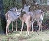 Butt... (Lisa Zins) Tags: buck whitetaileddeer whitetailedfawns 2016 lisazins fawns deer tn tennessee