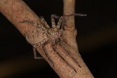 IMG_0208 (Roving_photographer) Tags: large spider meadowbank paramatta ryde sydney australia mangrove coast brown heteropoda sparassidae huntsman