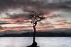 Milarrochy Tree (overhoist) Tags: overhoist canon canoneos5dmarkiii lochlomond milarrochytree milarrochybay sunset scotland