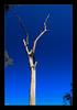 Australian Dead Tree (elc13600) Tags: deadtree tree arbre mort australia australie newsouthwales forêt forest bluemountains awesometrees