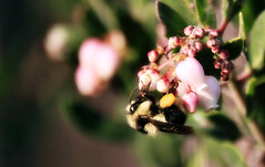 Bumble bee on manzanita (TJ Gehling) Tags: insect hymenoptera bee bombus bumblebee plant shrub ericales arbutoideae manzanita arctostaphylos elcerrito