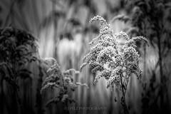 Frosty Plant. (J. Pelz) Tags: frozem bokeh blackandwhite blackwhite plant winter ice nature