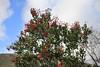 Heteromeles arbutifolia - Toyon (DonCrain) Tags: sandiego missiontrailsregionalpark sandiegoriver missiongorge heteromeles toyon plants