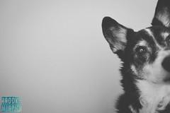 Week 10: On The Side (bmurphy502) Tags: doggin dogginlove ontheside blackandwhite dog bordercolliemix animal pet