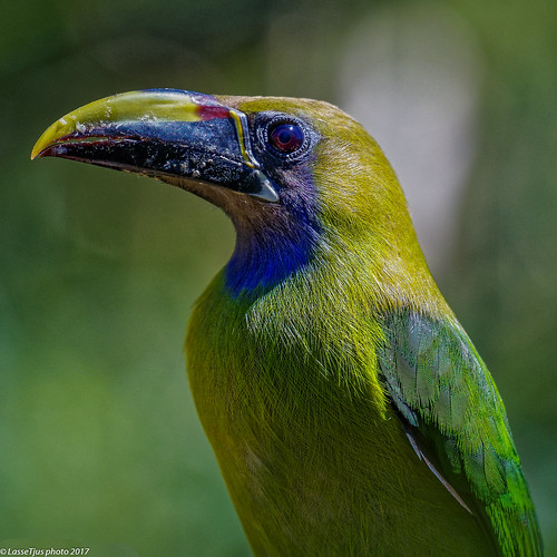 Emerald Toucanet (Aulacorhynchus prasinus), Costa Rica - a beautiful portrait