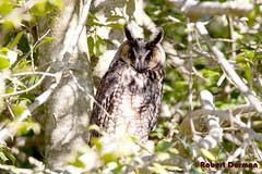 asio otus (tavarez.niurka) Tags: long eared owl asio otus buho gufo lechuza chouette coruja buma eule fukuro gwar hooter raptor roost predator