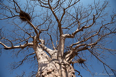 Look Up 8310 (Ursula in Aus) Tags: africa namibia adansonia baobab
