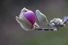 A Wookie hybrid? (Pejasar) Tags: tuliptree blossom bloom bud flower wookiehybrid fuzzball fuzzy nature yard deck home tulsa oklahoma