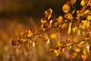 Autumn gold (John Prior 55) Tags: autumngold gold yellow branches bokeh autumn fall ontario burlington