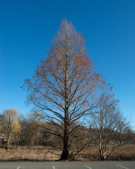 Metasequoia glyptostroboides (Dawn Redwood) (Plant Image Library) Tags: arnold arboretum new england winter 2017 trees plants metasequoiaglyptostroboides dawnredwood cupressaceae 52448aa