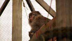 Chico (Futuristic.uk) Tags: barbarymacaque magot singe monkey monkeysanctuary england cornwall looe wild