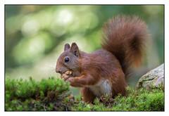 Red Squirrel - Eekhoorn (Sciurus vulgaris) ..... (Martha de Jong-Lantink) Tags: zeeland redsquirrel eekhoorn sciurusvulgaris 2015 walnoot rodeeekhoorn gewoneeekhoorn stichtinghetzeeuwselandschap boshutclinge