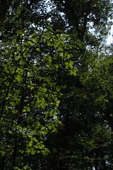 bright leaves (Molly Des Jardin) Tags: park trees light usa green leaves forest dark shadows state pennsylvania sunny lancaster dim brilliant 2014 susquehannock drumore 43215mm