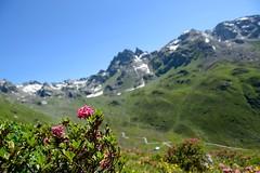 (Giramund) Tags: mountains alps rose swiss alpine alpenrosen