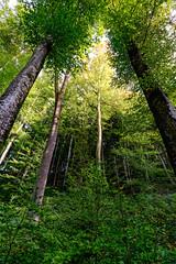 Arboretum du Vallon de l'Aubonne (prenzlauerberg) Tags: automne suisse arboretum foret arbre feuille vaud 1835 2015 aubonne arboretumduvallondelaubonne