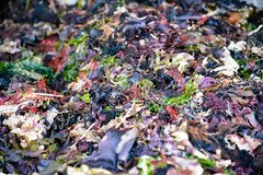 natural color (ma vie en rouge) Tags: seaweed color texture beautiful washington delicious wa thruhike pnt pacificnorthwesttrail pntclassof2015