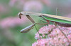 Butterflies Beware (rivadock4) Tags: pink flower butterfly mantis praying prayingmantis