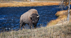 River Bison - Yellowstone National Park (laura's POV) Tags: fall nature river buffalo wildlife yellowstonenationalpark wyoming bison auturmn lauraspointofview lauraspov