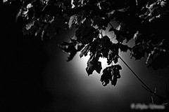 Who needs blood? (wimmerstefan) Tags: bw moon fullmoon nightsky leafs blackandwhiteonly supermoon 300mmf4ifed nikond7100