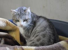 Pantera (.Vale.) Tags: cats baby animals cat kitten feline kitty kittens gatto gatti rifugio micio micia gattino gatta catshelter gattini micini