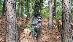 41/52 Skippy in the Pines (Bella Lisa) Tags: poodles georgia pines suwanee skippy pinetrees miniaturepoodles 52weeksfordogs 52wfd suwaneecreekgreenway