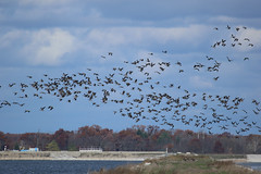 8F9A1101.jpg (ericvdb) Tags: bird geese canadiangeese muskegon wastewaterplant