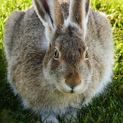 Changing colour ready for the winter (annkelliott) Tags: autumn wild canada calgary fall nature animal closeup hare outdoor wildlife alberta wildanimal moulting frontview jackrabbit eatinggrass whitetailedjackrabbit annkelliott lepustownsendii anneelliott familyleporidae fz200 fz2003 28october2015 outsidewhereivolunteer changingtowhitewintercoat