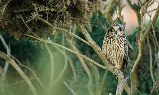Short-Eared Owl ~ explored