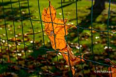 Couleurs d'automne (michel_bocquet) Tags: france nord feuille