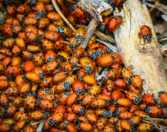 Unique       .....Lady bugs South Coast Botanic Garden 7014 (pekabo90401) Tags: red bug insect unique oneofakind beetle ladybug colony polkadot lovebug eeeek dancingbugs coccinellidae southcoastbotanicgarden home ladybugladybugflyawayhome tinyfaces ladybug pekabo90401 bitingbugs lookslikeabugnotabug 405trafficjam