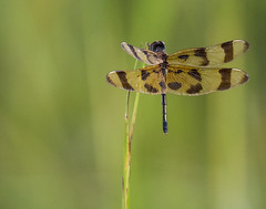 Dragonfly... (DavidGuscottPhotography) Tags: nature patterns everglades