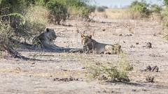 20151105_Chobe_0955.jpg (eLiL1860) Tags: botswana tierwelt löwe safari2015