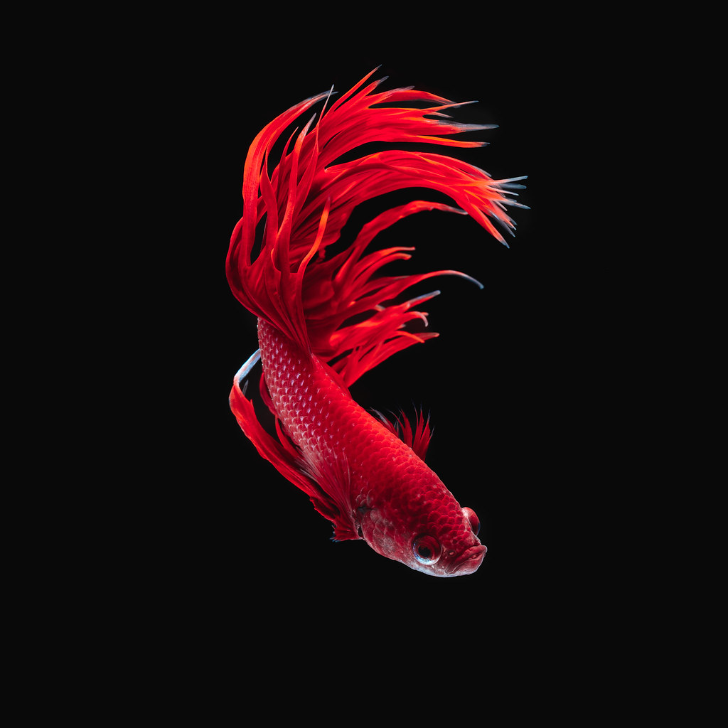 The World\'s newest photos of betta and dragon - Flickr Hive Mind