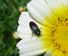 Jewel Beetle. Anthaxia scutellaris. Buprestidae (gailhampshire) Tags: jewel beetle anthaxia scutellaris buprestidae taxonomy:binomial=anthaxiascutellaris