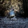 Crisscross (Explored) (Portraying Life) Tags: unitedstates arizona quail wild desert pima