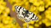 Melanargia russiae (KOMSIS) Tags: kelebek butterfly schmetterlinge motyl motýlů motýlech motýl motýľ borboleta mariposa papillon farfalle fjärilar fiðrildi féileacán bábochka бабочка perhonen päiväperhonen conbướm kəpənək көбелек лептир пеперутка πεταλούδα leptir vlinder animal animalia arthropoda insecta insect lepidoptera satyridae melanargia russiae espersmarbledwhite uygurmelikesi macro minimalism antenne outdoor wildlife landscape serene field plant pattern texture yellowblossom visipix ngc buzznbugz brilliant wow nikon nikondigital nikkor 105mm vr catchy catchycolors colors colorful bright beautiful