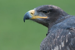 Harris Hawk (Andrew_Leggett) Tags: harris hawk parabuteounicinctus profile portrait leer grin scowl birdofprey andrewleggett
