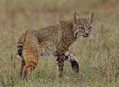 BOBCAT...... (sea25bill) Tags: bobcat lynxrufus cat feline male carnivore wildlife animal nature fall field morning california