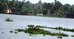 Kerala-2016 706 (vaibhav ambavale) Tags: bird kerala alleppey
