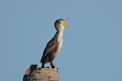 Makeshift minaret? (Hammerchewer) Tags: cormorant bird wildlife outdoor florida