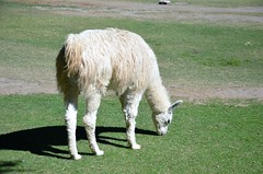 Llama (Rodrigo Soldon 2) Tags: llama lama glama south american camelid animalia mamífero artiodáctilo doméstico camelidae los andes peru chile bolívia ecuador argentina salta ruminante da américa do sul animal animália tier reino natureza 名词 nature طبيعة aard 性質 natur 성격 φύση natura природа naturaleza প্রকৃতি 大自然 자연 प्रकृति naturae mundo tierwelt monde world 動物の世界