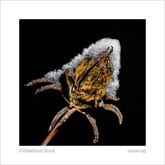 snowcap (fragile) (ekkiPics) Tags: hibiskus macro samenkapsel schnee macromondays inspiredbyasong fragile sting song outdoor snow winter strobist